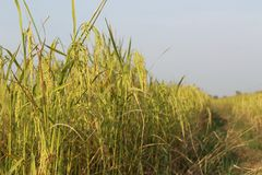 Field. Rice field is harvested and sky view stock photos
