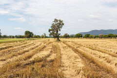 Rice field after harvesting Royalty Free Stock Photo