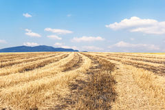 Rice field after harvesting and blue sky Stock Images