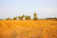 Rice field after harvesting and coconut tree royalty free stock image