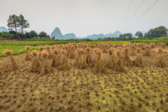 Rice field after harvesting and rice straw bales Stock Image