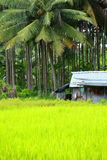 Rice Field in Havelock Island, India. Royalty Free Stock Photo