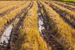 Rice field after havest. Ost-harvest dry rice paddies for background Royalty Free Stock Photo