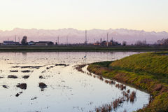 Rice field with heron and mountains Royalty Free Stock Image