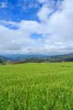 Rice field on the high mountain Royalty Free Stock Photography