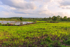 A rice field Stock Photos