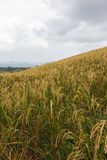 Rice field on hill Stock Photography