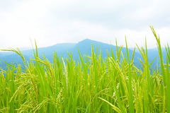 Rice field on the hill Royalty Free Stock Photography