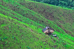 Rice field of hill tribe on mountain in Thailand. Hill tribes not have water rice field on mountain,they grow rice by water from rain royalty free stock photos