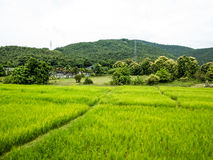 Rice field and hills Stock Photos