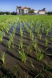Rice field Stock Image