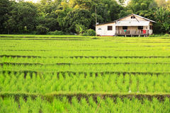 Rice field with house Royalty Free Stock Photography