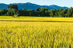 Rice  field. Hut in rice field at northern of Thailand Royalty Free Stock Image