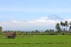 Rice field with a hut with a volcano Royalty Free Stock Image