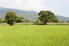 Rice field i Royalty Free Stock Images