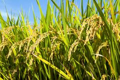 Rice Field II Royalty Free Stock Photos