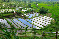 Free Rice Field In Bali Royalty Free Stock Photos - 16520338