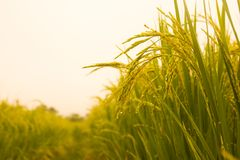 Free Rice Field In North Thailand, Nature Food Landscape Background. Stock Photo - 107182680