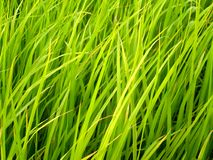 Free Rice Field In Thailand 4 Stock Photo - 1067540