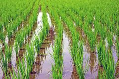 Rice field in Indonesia Asia. Close up Stock Photos