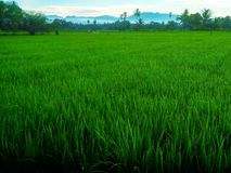 Farm, Rice_Field, Nature, Sumatera, Indonesia royalty free stock photos