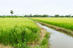 Rice field and Irrigation canals ,Thailand Royalty Free Stock Image
