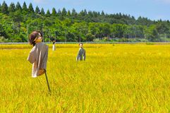 Rice field in Japan. Scarecrows at a rice field in Japan Royalty Free Stock Photo