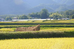 Rice field in Japan. Beginning of the rice harvest, planting in floodplain in the old fashioned way Stock Photos