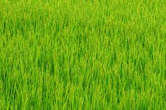 Rice field in Japan. Pattern full view of a rice paddy field in Japan in the Yamagata Prefecture, in the Tohoku, it`s like a full picture green plant pattern Stock Photography