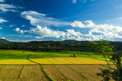 Rice  field. Jasmine rice field and beautiful sky at northern of Thailand Royalty Free Stock Images
