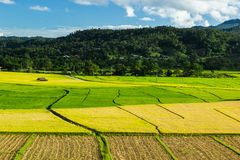 Rice  field. Jasmine rice field and beautiful sky at northern of Thailand Stock Photos