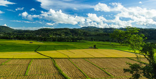 Rice  field. Jasmine rice field and beautiful sky at northern of Thailand Royalty Free Stock Photo