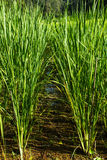 Rice is in field. Jasmine rice in field at northern of Thailand Stock Images