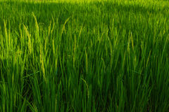 Rice is in field. Jasmine rice is in field in Thailand Royalty Free Stock Photo