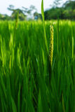 Rice is in field. Jasmine rice is in field at Thailand Royalty Free Stock Photography