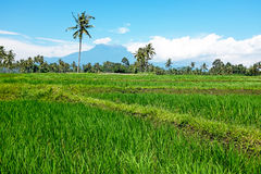 Rice field on Java Indonesia Royalty Free Stock Photo
