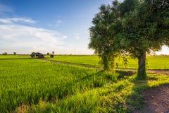 Rice field and Jujube tree Stock Image