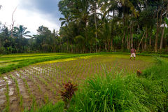 Rice field in the jungle. Indonesian rice field in the jungle royalty free stock photos