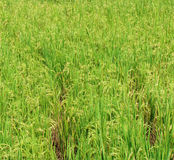 Rice ready to harvest Stock Image