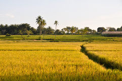 Rice field in Karnataka (India) Royalty Free Stock Photo