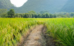 Rice field in karst area of Guangxi province, China Stock Image
