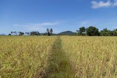 Rice field at koh sukorn island Stock Photography