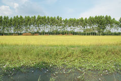 Rice field and lagoon Royalty Free Stock Photo