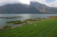 Rice field, lake and mountain Stock Image