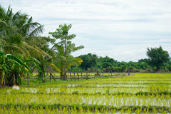 Rice field. At lamphun in Thailand Stock Images