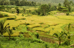 Rice field landcape in bali indonesia Royalty Free Stock Photography