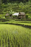 Rice field landscape in bali indonesia Royalty Free Stock Image
