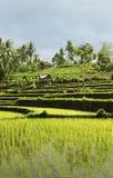 Rice field landscape in bali indonesia Stock Photo