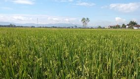 Rice field landscape. Beautiful horizon scenery of rice field in klaten city of Indonesia stock image