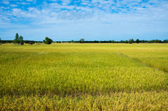 Rice field. Landscape of rice field and blue sky stock image